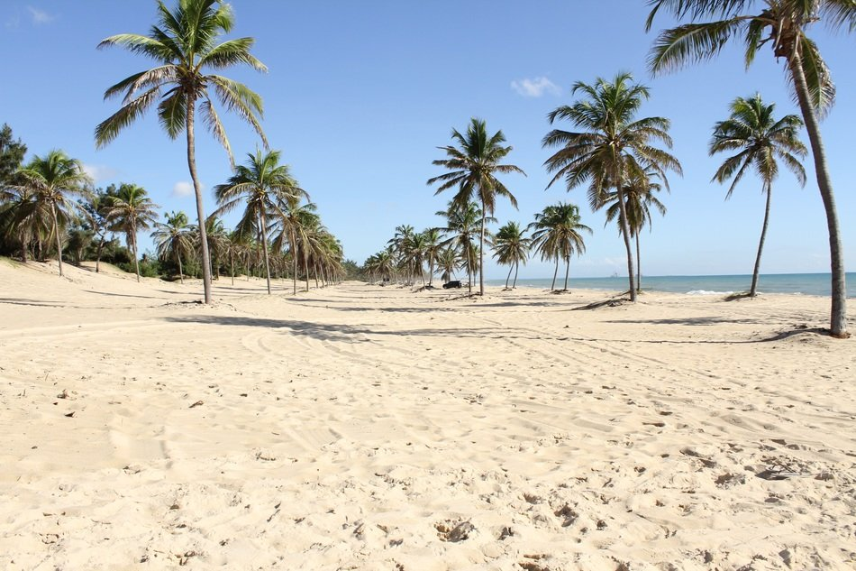 coconut palms on the coast in Ceara, Brazil