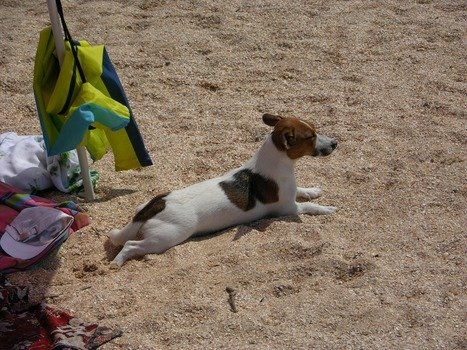spotted dog is lying on the beach