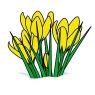 drawn yellow crocuses on a white background