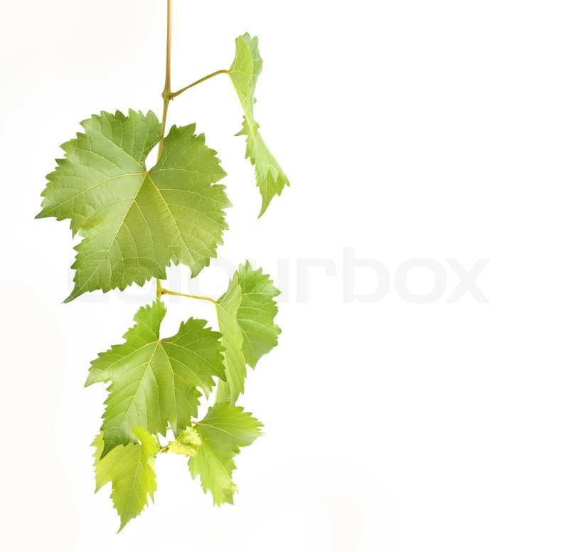 Drawn Grape Leaves On A White Background Free Image