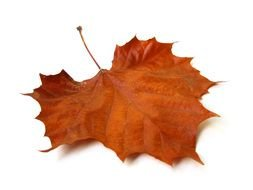dry brown maple leaf on a white background