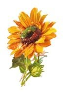 colorful sunflower for clipart