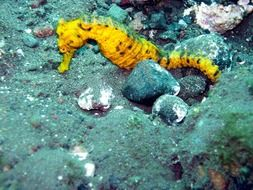 seahorse in the underwater world of the Maldives