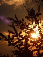 silhouette of a bush on a background of yellow sunset
