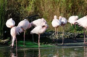 flamingos pink in water