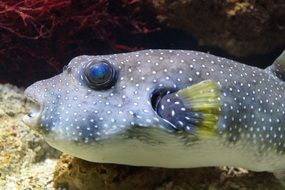 fish boxfish