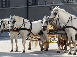 white horses drawn carriages, austria, salzburg