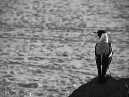 magpie bird sitting on stone at water