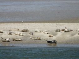 seals phoca vitulina crawl