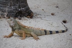 iguana on the beach in a natural environment