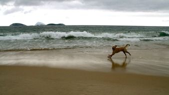 playful running red dog on beach