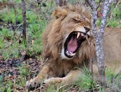 yawning wild lion in africa