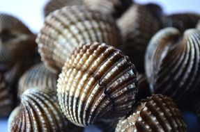 scallops in marine life
