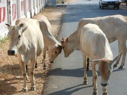 photo of the indian cows