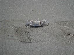 spotted crab on sand