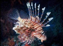 unusual lion fish in sea water