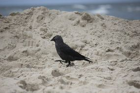 raven in the sand on the beach