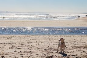 dog stays on sand beach at water