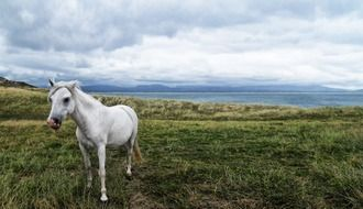 white horse in a green meadow