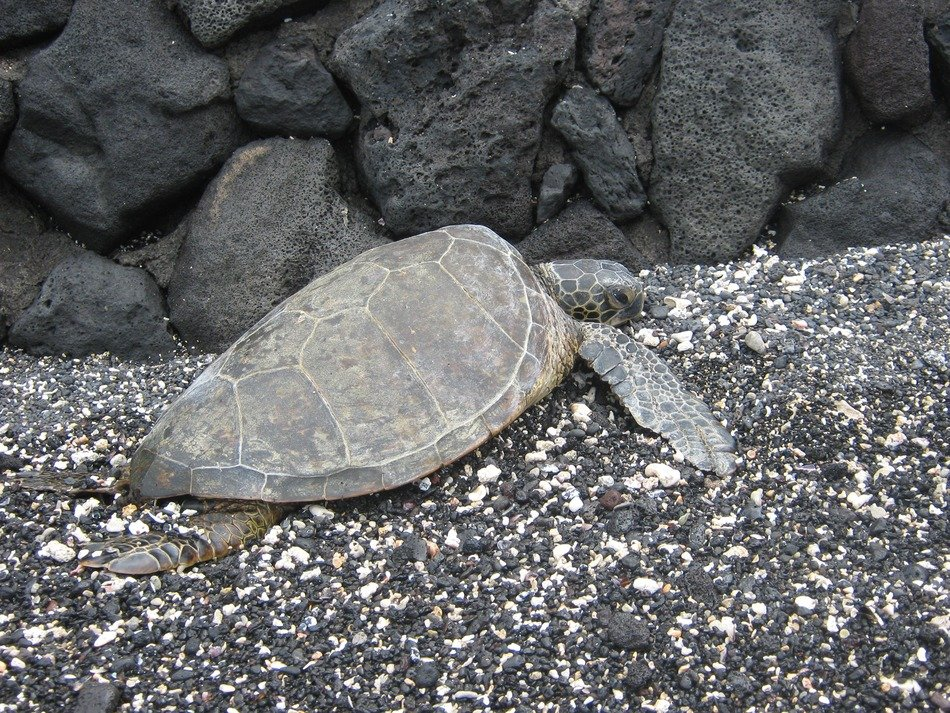 turtle on pebbles on the shore of hawaii