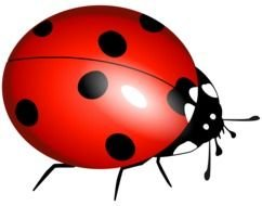 isolated drawn ladybug