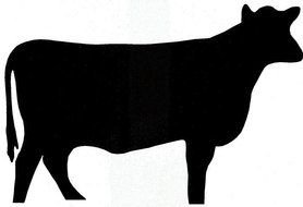 black cow as a silhouette