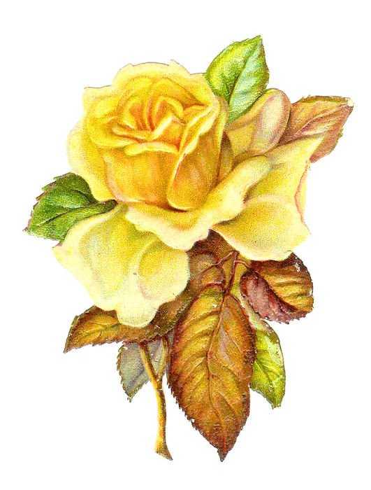 vintage drawing of a yellow roses