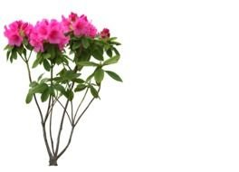 azalea, plant with pink flowers at white background