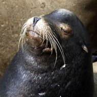 sea lion with white mustache