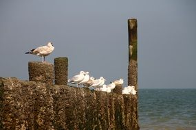 seagulls on the coast in the netherlands