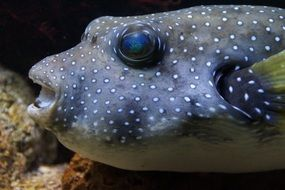 Puffer fish in the water