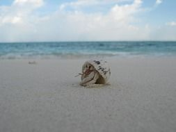 little white crab on the beach in the maldives