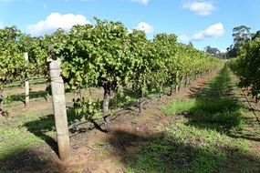 green vineyards in australia