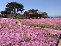 fields with pink flowers on the peninsula of Monterey