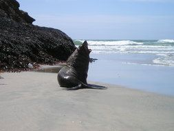 seal on the beach on south island in new zealand