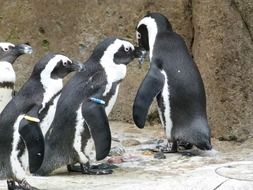 cute african penguin aves group sea animals