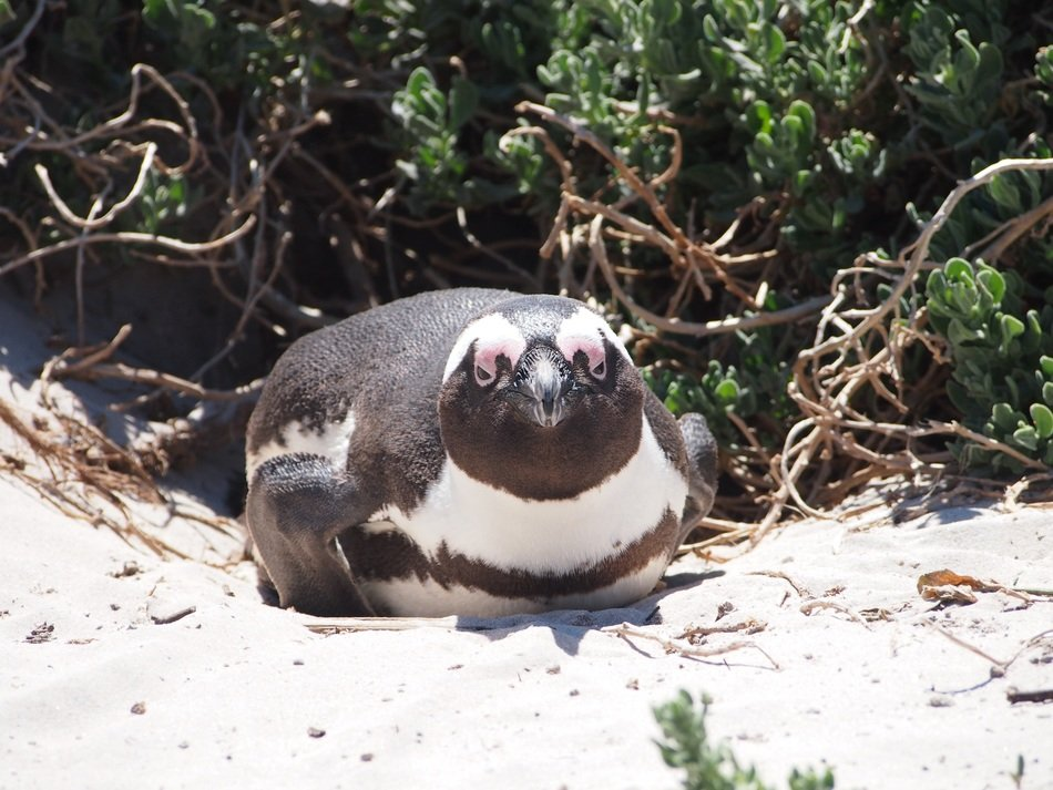 penguin on the beach in south africa