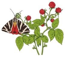 butterfly and raspberry bush on the black background