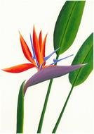 Bird Of Paradise Plant drawing