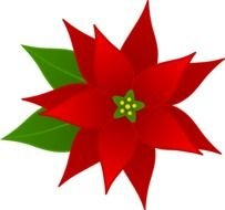 Christmas Flower, Poinsettia, drawing