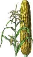corn as a graphic image