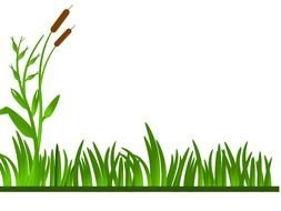 reed on green grass on a white background