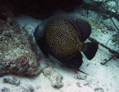 black angelfish scuba diving