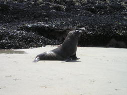lonely seal on south island beach in new zealand
