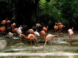 dominican flamingo bird