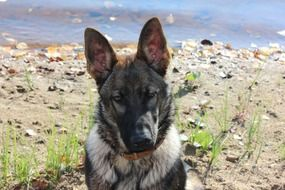German shepherd with a leather collar on the beach