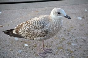 striking young gull