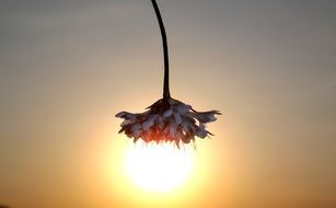 Flower against the backdrop of the setting sun