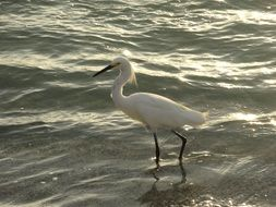 white bird walks on water