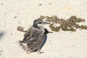 nestling of a grey backed tern in natural environment